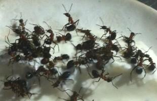 Live Ant